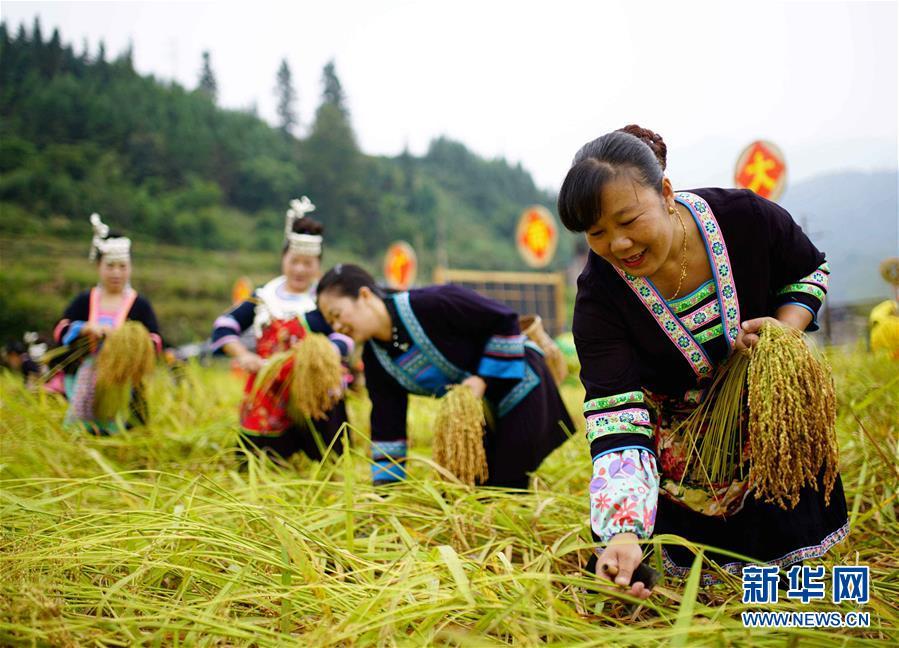 广西龙胜:侗寨香禾糯喜丰收