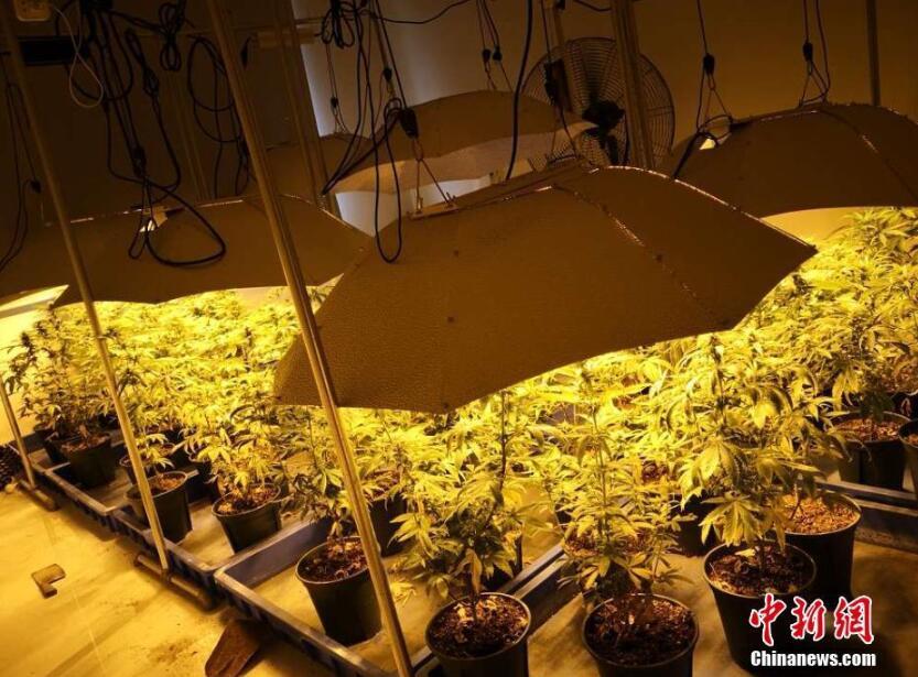 """毒贩在房间种满大麻 现场如""""热带雨林"""""""